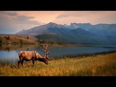 Evening Elk (Brent Mooers Photography) Tags: canada nikon jasper alberta getty elk jacques jaspernationalpark twop d60 jasperlake nikond60 specanimal karmapotd karmapotw nikon18105mmvr recolix jacquesrange jacquesmountainrange