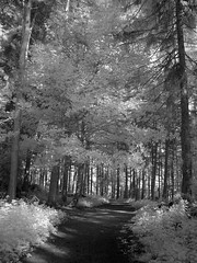 Woodland Walk (l4ts) Tags: woodland blackwhite path derbyshire infrared chesterfield oldbrampton linacrereservoirs linacrewood
