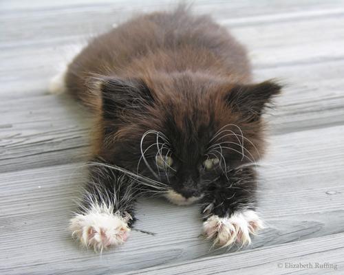 Miranda Panda, black-and-white tuxedo kitten