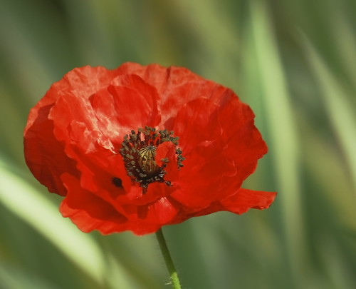 Shiny Red Poppy