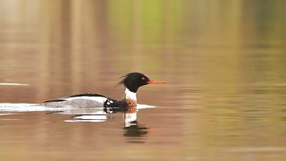 Red Breasted Merganser ~ explored