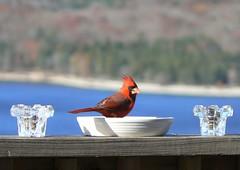 Cardinal Tartar (Lollie Dot Com) Tags: red bird cardinal card malecardinal redcardinal lololol lolliedotcompix cardinalinadish cardinaltartar p1340876nncc