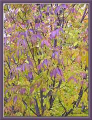 Lavender Leaves (annieA) Tags: autumn tree leaves lavender
