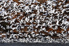 Snow Goose Static (Fort Photo) Tags: newmexico bird nature birds animal geese nikon bravo searchthebest wildlife birding bosque ave multiples nm ornithology bosquedelapache avian 2007 snowgeese nwr d300 anatidae snowgoose anseriformes chencaerulescens anserinae mywinners aplusphoto