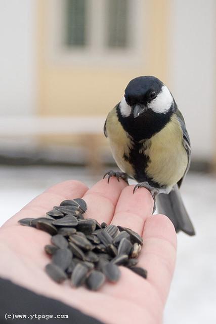 Feeding tits