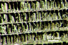 Cuttlefish bone templated superconductor