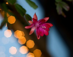 50mm Lobby Bloom (Orbmiser) Tags: christmas flowers oregon catchycolors portland 50mm nikon explore 50mmf18d d40 nikon50mmf18daf