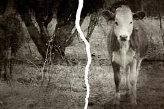 vaca cañadas