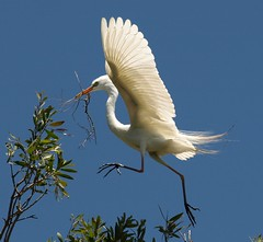 Walking on air!!!!!! (maureen_g) Tags: bird nature searchthebest wildlife flight australia nsw egret naturesfinest abigfave avianexcellence diamondclassphotographer brisbanebirds auselite platinumheartaward rickspixtop50 hunterwetlandsnotagain