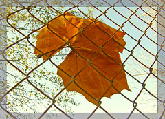 ~ caught ~ (irishtermom) Tags: fence leaf cottonwood beautifulday naturesfinest blueribbonwinner lastsunday magicdonkey flickrplatinum