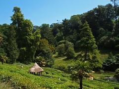 Amazingly Green (RoystonVasey) Tags: summer tree green garden cornwall fuji nt gazebo national hedge finepix trust maze glendurgan f440 glendurgangarden