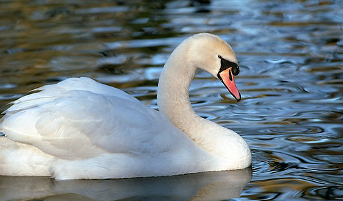 Swan at Radwell