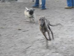 Da haltet ein Mops doch schon lange mit!!! (Die fabelhafte Welt der Manati-Mum) Tags: dog dogs pug meeting ostern moritz bruno prater frhling mops mopstreffen daffi