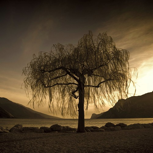 The sad Salix Babilonica...