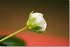 Wild Strawberry (Shabbir Ferdous) Tags: flower macro photographer wildstrawberry bangladeshi canoneosrebelxti flowersofbangladesh shabbirferdous sigmazoomtelephoto70300mmf456apodgmacro wwwshabbirferdouscom shabbirferdouscom