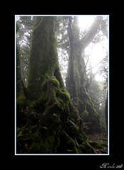 Mystical Forrest (topazz2412) Tags: autumn trees cloud mist mountain green nature wet beautiful freshair nationalpark moss cool ancient peace forrest decay magic australia lordoftherings beech antarctic protected goldcoast springbrook hinterland greatoutdoors soupforthesoul nothofagaceae springbrooknationalpark antarcticbeech nothofagusmoorei top20australia