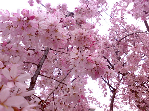 Pink flowers (Cherry blossoms) | Flickr - Photo Sharing!
