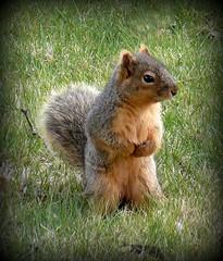 Squirrel (Glenn Harris (Clintriter)) Tags: oregon squirrel breathtaking hoodriver blueribbonwinner supershot mywinners diamondclassphotographer flickrdiamond brillianteyejewel naturewatcher platinumheartaward ilovemypics