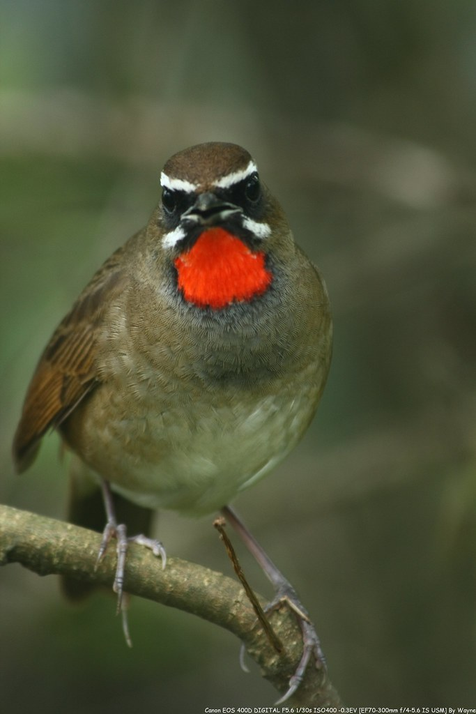 Siberian Rubythroat 野鴝 - IMG_5450