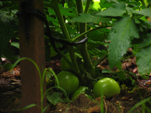 CrabAppleLane tomatoes on a dark, dreary Sunday - April 27, 2008