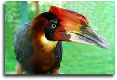 Hornbill (Mr. FRANTaStiK) Tags: bird hornbill davao kalaw diamondclassphotographer flickrdiamond philippinebird teampilipinas naturewatcher fongetz francistan