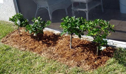 gardenia shrubs