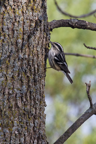 Black and White Warbler (2 of 2)