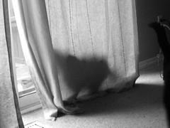 Loki hiding behind the curtains (jon_a_ross) Tags: cats cat loki dsh graycat greycat domesticshorthair catgray graylokigrey