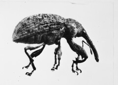 Cotton Ball Weevil