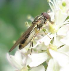 Syrphida: Melanostoma scalare (Mick E. Talbot) Tags: macro nature fauna wildlife diptera melanostomascalare lincolnshirewildlife syrphida