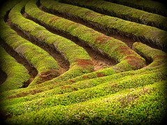 Green Tea Fields (keithmaguire ) Tags: plant verde green nature leaves asian asia asien groen do natural tea south hill korea vert korean rows plantation fields asie grn southkorea bushes cha  shrubs aasia asya zielony  hijau nok azia azi  yeil sia  berde  kore boseong     quc  chu xanh jeollanamdo gney   hn    jeollanam zsia earthasia     gneykore   doublyniceshot tripleniceshot artistoftheyearlevel3 artistoftheyearlevel4
