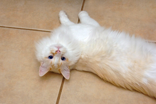 Flickr Discussing Can Anyone Identify A Ragdoll In Ragdoll Kitties