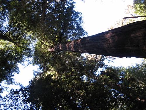 Redwoods aplenty