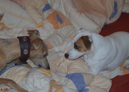 Whippet Coco & Parson-Russell-Terrier Fee
