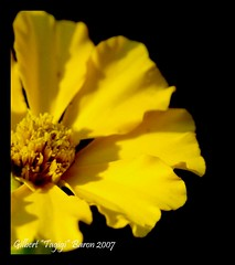 "Yellow ""Dilaw"" ""Lalag"" (Gilbert ""Tagigi"" Baron) Tags: flower yellow petals philippines finepix cebu gilbert fujifilm kawasan baron badian dcr250 raynox cebusugbo s9600 tubod pinoykodakero tagigi"