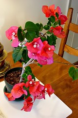 Red Bougainvillea 29 Nov 2007 009Rif 4x6 (edgarandron - busy!) Tags: flowers flower bougainvillea