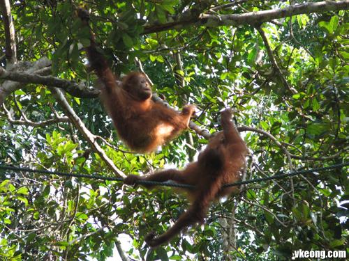 baby-orang-utan-play