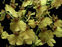 Oncidium  Sweet Sugar (Ramsis'07) Tags: orchid flower yellow orchidaceae oncidium sweet sugar