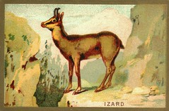 izard