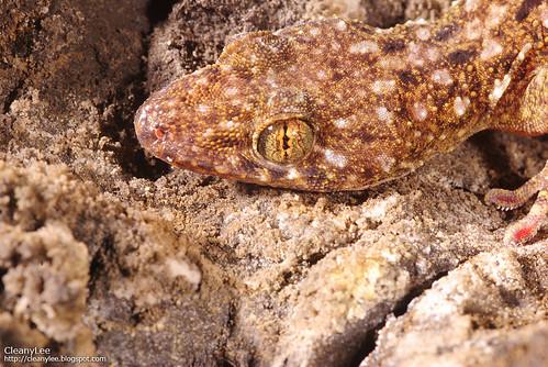31048 菊池氏壁虎 (Kikuchi's Gecko) Gekko kikuchii
