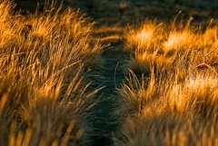 walk (ScarletFaerie (K. Wood Photography)) Tags: light sunset arizona sunlight grass golden tramonto path erba trail sentiero blueribbonwinner bagliore erbasecca anawesomeshot
