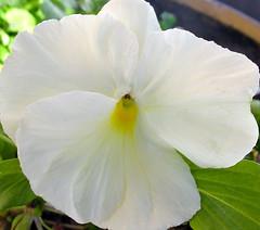 Winter White ( artkat0116  away) Tags: fab flower macro nature floral beautiful yellow botanical petals pansy winterflower blueribbonwinner lifeasiseeit diamondclassphotographer flickrdiamond