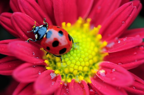 Lady Bug on Flower