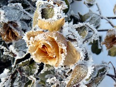 Yellow Rose Stoned by Snow (KLMircea) Tags: winter snow green leaves rose yellow leaf