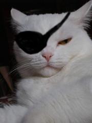 piratinha... (DagazAnal) Tags: cat kat chat gato katze  gatto pirata
