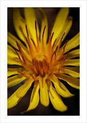 (fertraban) Tags: flower flor amarillo flowerotica abigfave anawesomeshot ltytr2 ltytr1 ltytr3