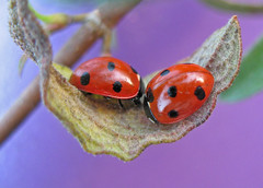 Ladybird pair (nutmeg66) Tags: red macro nature fauna garden march leaf spring purple insects lincolnshire ladybird ladybug 2008 ladybirds ladybeetle canonpowershot coleoptera naturesfinest minibeasts abigfave a640 specinsect