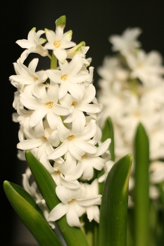Hyacinth from Buyers outlet
