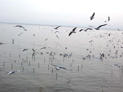 seagull fly on gulf of Thailand