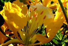 Yellow Flamboyant (stamen) (jendayee) Tags: flower fleur beautiful yellow jaune martinique yellowflower flamboyant schoelcher thebestyellow